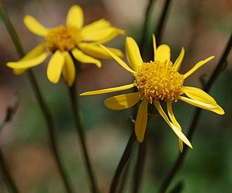Packera aurea - Image: Golden Ragwort Senecio aureus Flower 2184px