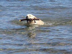Labradorinnoutaja Näyttelylinjainen