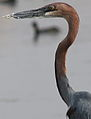 Goliath Heron, Ardea goliath at Marievale Nature Reserve, Gauteng, South Africa (20981689665).jpg