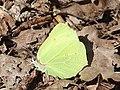 Gonepteryx rhamni 121499346.jpg