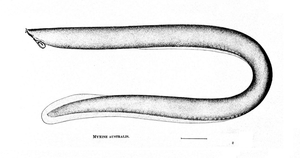 Myxine - Southern hagfish (Myxine australis) mid-19th century drawing by Günther