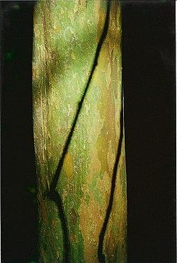 Gossia bidwillii - Hayters Hill July 19, 2000.jpg
