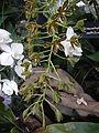 Grammatophyllummultiflorumjf9215 04.JPG