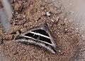 Grammodes bifasciata 1071171.jpg