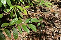 Graphium antiphates naira Moore, 1903 – Sahyadri Five-bar Swordtail at Kannavam RF (54).jpg