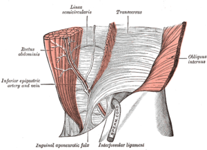 The interfoveolar ligament, seen from in front.