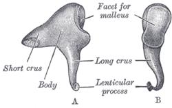 hvad hedder den mindste knogle i kroppen