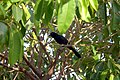 Great-tailed Grackle in Casco Viejo, Panama.jpg