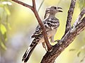 Great Bowerbird (Chlamydera nuchalis) (31010128910).jpg