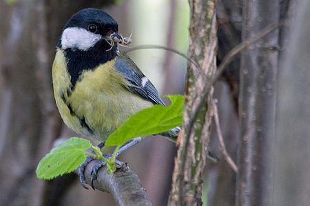 Great Tit Lodz(Poland)(js)08.jpg