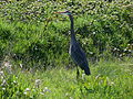 Great blue heron grass field.jpg