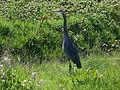 Great blue heron grass field.jpg