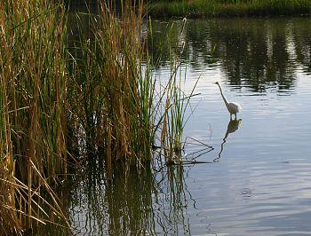 Great egret-near agua caliente