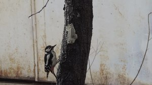 File:Great spotted woodpecker (Dendrocopos major) on a wild apple tree in Sofia (video).webm