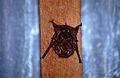 Greater Sac-winged Bat (Saccopteryx bilineata) under a roof (10509541554).jpg