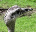 Greater rhea in english wildlifepark arp.jpg
