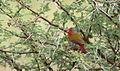 Green-winged Pytilia, Pytilia melba at Kruger Park (13877706653).jpg