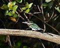 Green Kingfisher (Chloroceryle americana) female (30906787903).jpg