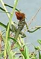 Green forest Lizard-Calotes calotes.JPG