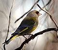 Greenfinch (26014970382).jpg