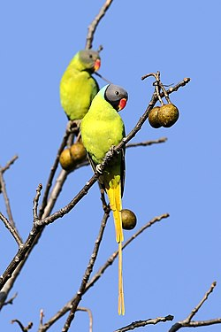 Grey-headed parakeet (34365126130).jpg