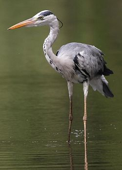 Grey Heron, Ardea cinerea at Kruger National Park, South Africa (13851118225).jpg