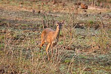 Grey brocket (Mazama gouazoubira) young female.JPG