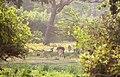 Group of deer take a rest at Yala national park.jpg