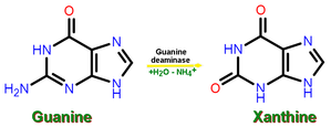 Guanine deaminase - Xanthine synthesis from guanine