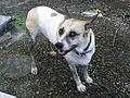 Guard Dog in Dazhi Roman Catholic Cemetery 20120701.jpg