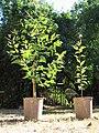 Gum trees (5566956683).jpg