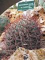 Gymnocalycium mostii (Jardin des Plantes de Paris).jpg