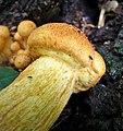 Gymnopilus junonius - Flickr - gailhampshire (2).jpg