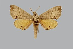 Gynoeryx paulianii JH191 male up edi.jpg