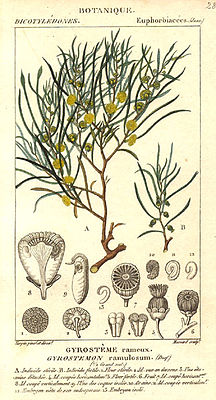 Gyrostemon ramulosus, Illustration.