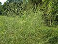 HBT - Wild Asparagus (6057902334).jpg