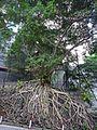 HK Sheung Wan 醫院道 Hospital Road Banyan trees Aug 2016 DSC 006.jpg