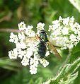 Halictus tumulorum^ Halictidae - Flickr - gailhampshire.jpg
