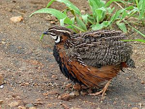 Coturnix - Harlequin quail, C. delegorguei