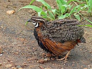 Harlequin quail Species of bird