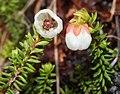 Harrimanella stelleriana (flower s2).jpg
