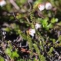 Harrimanella stelleriana s4.jpg