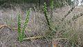 Harrisia Cactus, Harrisia martinii (10868793096).jpg