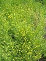 Helenium aromaticum Cephalophora aromatica BotGardBln07122011A.jpg