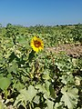 Helianthus in Turkey 20170828.jpg