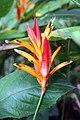 Heliconia psittacorum 15zz.jpg
