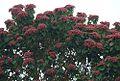 Heliocarpus popayanensis (17666564093).jpg