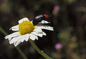 Heliotaurus ruficollis 20100522 a.jpg