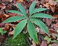 Helleborus viridis ENBLA02.jpg