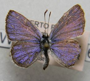 Description de l'image Hemiargus hanno dorsal.jpg.